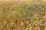 Barley Field with Cornflowers (Centaurea cyanus) and Chamomile (Matricaria chamomilla), Summer, Germerode, Hoher Meissner, Werra Meissner District, Hesse, Germany
