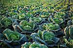 Al arge field of Savoy cabbage