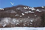 Swan herd flying, Hokkaido, Japan