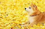 Shiba Inu and Autumn leaves