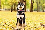 Shiba Inu in a park