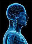 Human neck bones, computer illustration.