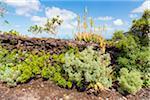 Plants by Stone Wall of Lava Rocks, Ecomuseo de Guinea, El Hierro, Canary Islands, Spain