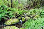 Dense Vegetation in Cloud Forest by Creek, Garajonay National Park, La Gomera, Canary Islands, Spain