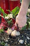 Earth garden harvest crop beet root hand