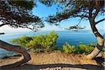 Pine Tree with Sea, La Couronne, Martigues, Cote Bleue, Mediterranean Sea, Bouches-du-Rhone, Provence-Alpes-Cote d'Azur, France