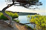 Pine Tree with Sea Bay, La Couronne, Martigues, Cote Bleue, Mediterranean Sea, Bouches-du-Rhone, Provence-Alpes-Cote d'Azur, France