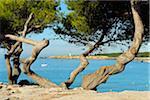 Pine Tree with Coast in Summer, La Couronne, Martigues, Cote Bleue, Mediterranean Sea, Bouches-du-Rhone, Provence-Alpes-Cote d'Azur, France