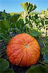 Pumpkin on field