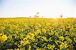 Flowering oilseed rape field