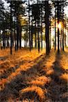 Pine forest at sunrise, Wareham Forest, Dorset, England