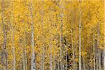 American Aspen Trees (Populus tremuloides) in Forest with Autumn Foliage, Grand Teton National Park, Jackson, Wyoming, USA