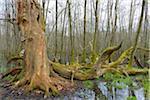 Dead, Old Oak Tree and Black Alders (Alnus glutinosa) in Wetland, Early Spring, Hesse, Germany
