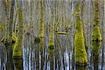 Black Alders (Alnus glutinosa) in Wetland, Early Spring, Hesse, Germany