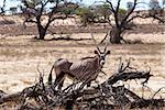Gemsbok, Oryx gazella, Kgalagadi Transfrontier Park, Namibia, true wildlife