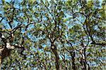 Eucalyptus Treetops, Benandarah, Murramarang National Park, New South Wales, Australia
