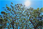 Eucalyptus Treetops with Sun, Benandarah, Murramarang National Park, New South Wales, Australia