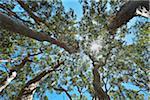 View in Eucalyptus Treetop with Sun, Benandarah, Murramarang National Park, New South Wales, Australia