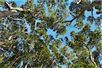 Looking up at Eucalyptus Treetops, Benandarah, Murramarang National Park, New South Wales, Australia