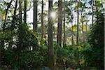Eucalyptus Trees in Bush with Sun, Benandarah, Murramarang National Park, New South Wales, Australia