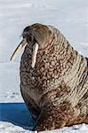 Adult bull Atlantic walrus (Odobenus rosmarus rosmarus) hauled out on ice in Storfjorden, Svalbard, Norway, Scandinavia, Europe