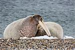 Adult bull Atlantic walrus (Odobenus rosmarus rosmarus) on the beach in Torellneset, Nordauslandet, Svalbard, Norway, Scandinavia, Europe