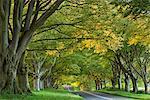 Kingston Lacy Beech Avenue on the road near Badbury Rings, Dorset, England, United Kingdom, Europe
