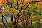 Japanese Maple Tree Canopy at Portland Japanese Garden in Autumn