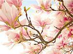 Backlit Magnolia blossoms on a branch