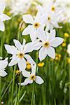 Blooming Poet's Daffodil (Narcissus poeticus) on Alpine Meadow, Les Pleiades, Vaud, Switzerland