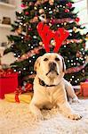 Portrait of labrador retriever wearing christmas antlers