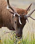 Bull elk (Cervus canadensis) eating yellow wildflowers, Jasper National Park, Alberta, Canada, North America