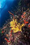 Conch, coral reef, Adriatic Sea, Dalmatia, Croatia