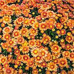 Flowers, Chrysanthemum, mums orange