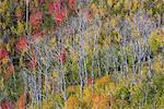 Vivid autumn foliage colour on maple and aspen tree leaves.