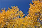 American Aspens (Populus tremuloides) in Autumn Foliage against Blue Sky, Grand Teton National Park, Wyoming, USA