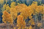American Aspens (Populus tremuloides) in Autumn Foliage, Grand Teton National Park, Wyoming, USA
