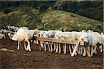 Sheep Eating at Trough, Campotosto, Gran Sasso e Monti della Laga National Park, L'Aquila, Abruzzo, Italy