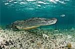 American crocodile, Chinchorro biosphere reserve, Quintana Roo, Mexico
