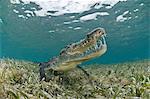 American crocodile (crocodylus acutus) in clear waters of Caribbean, Chinchorro Banks (Biosphere Reserve), Quintana Roo, Mexico