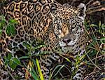 Brazil, Pantanal, Mato Grosso do Sul. A Jaguar in riverine vegetation on the banks of the Cuiaba River.