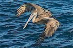 South America, Ecuador, Galapagos Islands, North Seymour Island. A Brown Pelican flying over the sea.