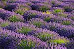 Lavender Field near Valensole, Provence Alpes Cote d'Azur, Provence, France, Europe