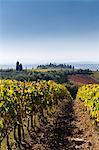 Italy, Italia. Tuscany, Toscana. Firenze district. Chianti. Gaiole in Chianti. Vineyard.