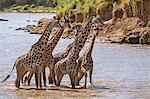 Africa, Kenya, Narok County, Masai Mara National Reserve. Giraffes crossing a river.