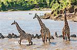 Africa, Kenya, Narok County, Masai Mara National Reserve. Giraffes and zebra crossing a river.