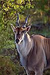 Africa, Kenya, Narok County, Masai Mara National Reserve. Eland