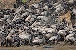 Africa, Kenya, Narok County, Masai Mara National Reserve. Wildebeest migration