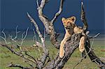Africa, Kenya, Narok County, Masai Mara National Reserve. Lion resting in a dead tree.