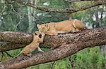 Africa, Kenya, Narok County, Masai Mara National Reserve. Lioness and her cub.